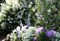 現在の庭 - バラとハーブのある暮らし Salon de Roses