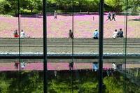 都市空間  庭を染め抜く  シバザクラ(港区、三田) - 旅プラスの日記