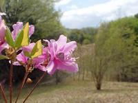 ツツジにスギタニルリシジミ - 秩父の蝶