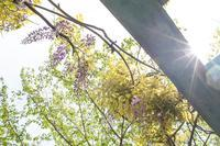海上公園、藤も開花始まる。 - 柳に雪折れなし!Ⅱ