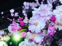 桜 - 行く当てのない言葉