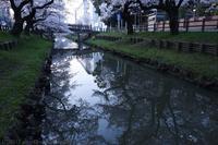 川越 新河岸川の桜並木 誉桜 - photograph3