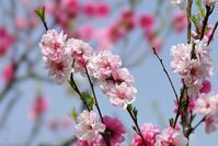 大阪城の桃園@2018-04-02 - (新)トラちゃん&ちー・明日葉 観察日記
