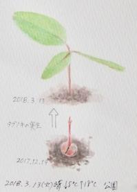 #植物スケッチ #Naturejournal 『椨』Machilus thunbergii - スケッチ感察ノート (Nature journal)