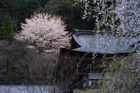 常照皇寺の桜 - ぽとすのくずかご