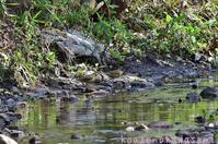 春の小川 - 気ままな生き物撮り