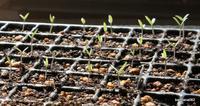トマト発芽 - bandanna082の体験農園