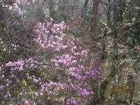 コバノミツバツツジ咲き始め。 - 宮迫の! ようこそヤマボウシの森へ