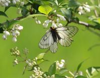 トラフシジミウツギに集まる蝶 - 蝶のいる風景blog