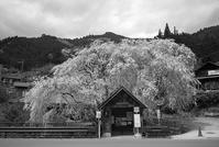 なごり桜 - alors  photos ライカと50mmで