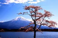 30年4月の富士(9)田貫湖の桜と富士 - 富士への散歩道 ~撮影記~