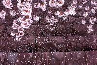 ご近所のsakura ⑥ 2018/04/05 - 虹のむこうには何が見える?