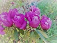 バラ咲ツツジ - だんご虫の花