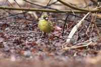 アオジ - ひとり野鳥の会
