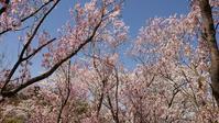 桜巡り4 花見山2 @福島県福島市 - 963-7837