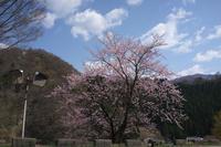 #1071 山桜 - 想い出cameraパートⅢ