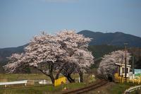 樽見鉄道の桜 001 - 感動模写Ⅱ