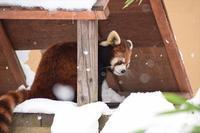 蔵出し雪友友・その1 - レッサーパンダ☆もふてく放浪記
