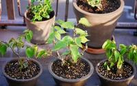 盆栽の植え替え - 東京ベランダ通信