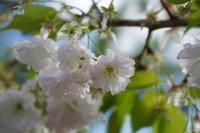 「サクラのちツツジ-長岡天満宮-」 - ほぼ京都人の密やかな眺め Excite Blog版
