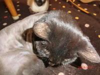 我が家の猫ちゃんのサマーカット - 香りの部屋