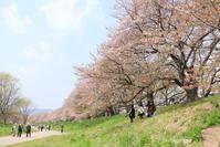 背割堤の名残桜 - 「古都」大津 湖国から