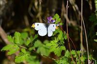 ツマキチョウ - きまぐれに蝶・トンボ