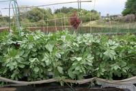 ソラマメ栽培 - bandana082の体験農園