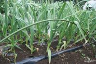 ニンニク栽培 - bandana082の体験農園
