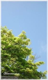 青空と青楓Sun 3 Sunday - 日々楽しく ♪mon bonheur