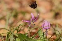 カタクリの花にミヤマセセリが - 上州自然散策2
