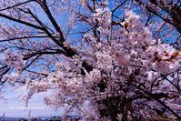 圧倒的桜。2018 - Olive Drab