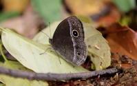 晩春その2 - 紀州里山の蝶たち