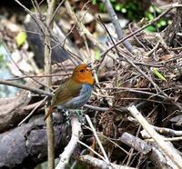 未だ居てた渓流のコマドリ・・・ - 一期一会の野鳥たち