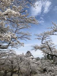 🌸 サクラ 🌸 桜 2018 🌸  🌸  🌸 - 坂本これくしょん 公式ブログ   SAKAMOTO COLLECTION BLOG