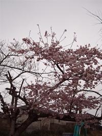 桜・・・2 - るーちゃん日々雑感