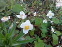 白雪芥子 - だんご虫の花
