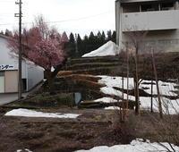 桜前線 - ユリ 百合 ゆり 魚沼農場の日々