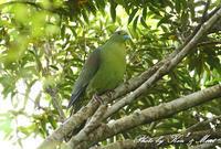 初見♪初撮り♪「ズアカアオバト」さん♪ - ケンケン&ミントの鳥撮りLifeⅡ