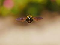 藤の見頃になって来た足利フラワーパーク!・・・私には花より熊蜂♪ - 『私のデジタル写真眼』