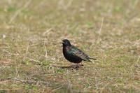 ホシムクドリ - ひとり野鳥の会