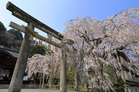 大石神社の枝垂れ桜 - ぴんぼけふぉとぶろぐ2