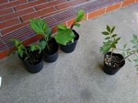 超特急で苗の植え付け(南国畑) - 化学物質過敏症・風のたより2