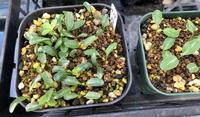 H29年の種っこ - リリ子の一坪ガーデン