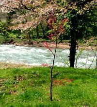 赤い新芽が今年も - 金沢犀川温泉 川端の湯宿「滝亭」BLOG