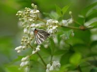 ミツバウツギに集まる蝶 - 風任せ自由人