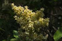 ■紹介忘れの花たち18.4.19(ニワトコ、ナツグミ、ウワミズザクラ) - 舞岡公園の自然2