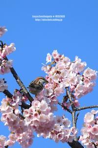 お花見鳥④大寒桜&ニュウナイスズメ(オス) - 花野鳥風月MISCHEH