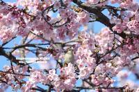 お花見鳥⑤大寒桜&ニュウナイスズメ(メス) - 花野鳥風月MISCHEH
