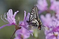 ●● 春型は随分と小ぶり・・・・・・ナミアゲハとキアゲハ ●● - kameのフォトブック2
